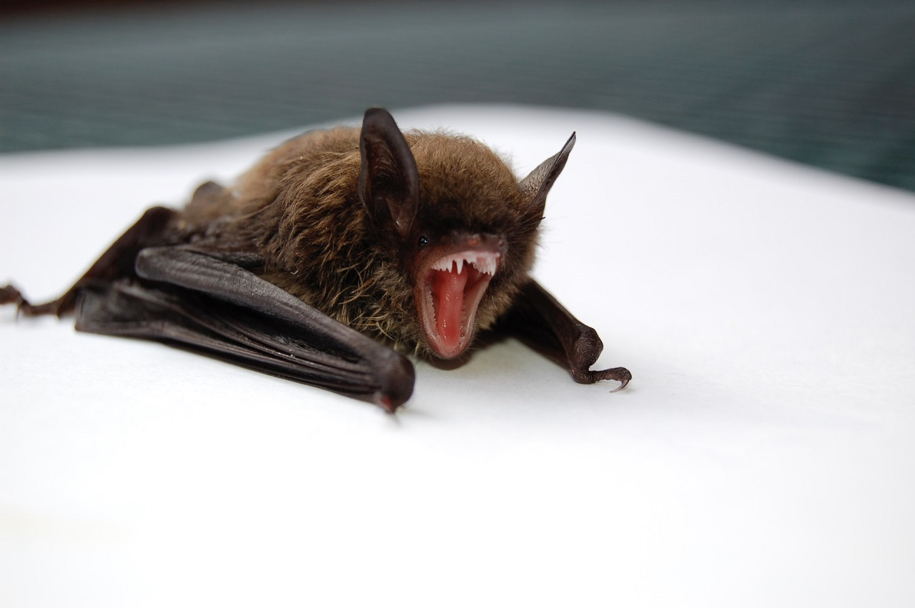 How did the new coronavirus pass from bats to humans