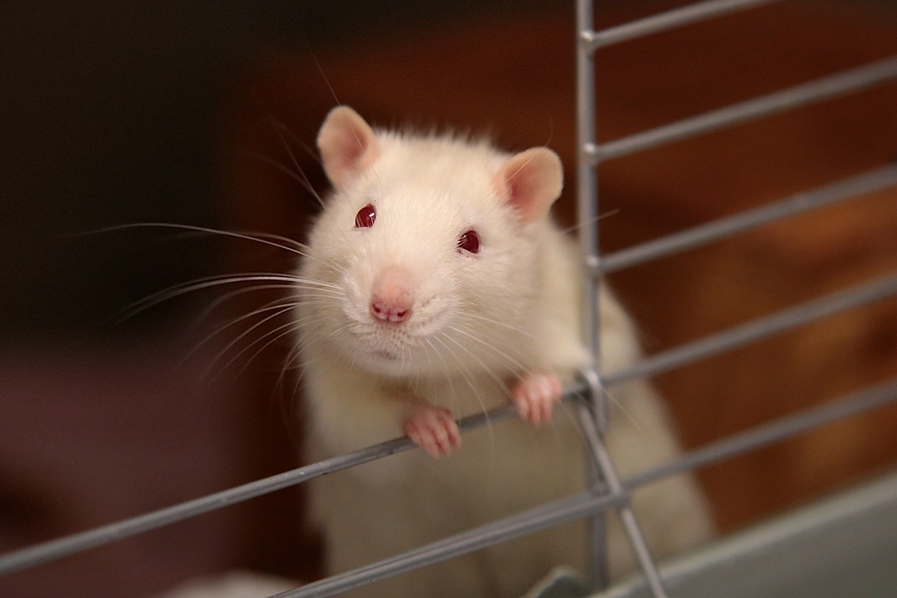 Why usually a mouse is used in experiments?
